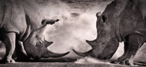 two rhinos facing off