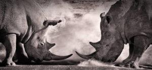two rhinos facing off